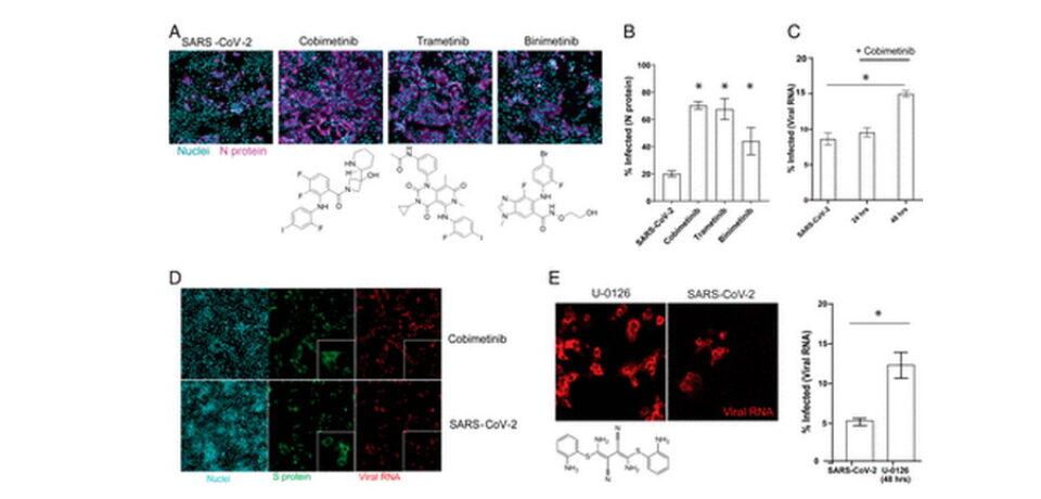 Лактоферрин блокирует репликацию SARS-CoV-2 на начальном уровне